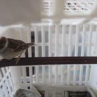 雀のすずちゃんは元気に育ってます