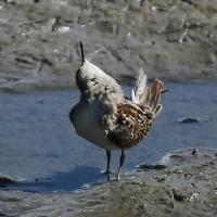 アメリカヒバリシギ夏羽