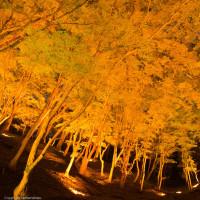 11月3日の香嵐渓ライトアップです。