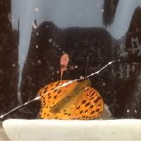 ツマグロヒョウモンの様子11/28〜蝶の羽。