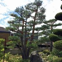 根元が5株あるアカマツが正真木となる庭園の剪定をしました