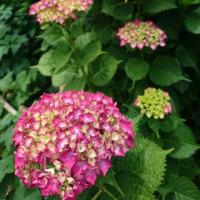 金沢市本多町における紫陽花