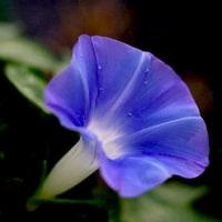 <庭の朝顔は元気で綺麗に咲いています>