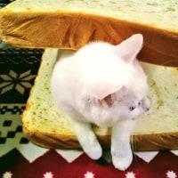6月24日(土)のつぶやき 身体が大きいからニャ、パン2枚買ってもらったニャ(ФωФ)/ #cat #白猫 #サンドイッチ #sandwich #パン #クッション
