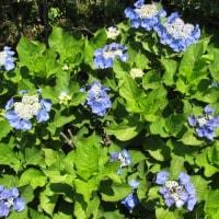 花ショウブ咲く小岩菖蒲園へ