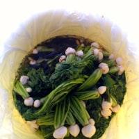 蕪の間引き菜の漬物ー2