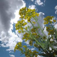 4月19日 菜の花