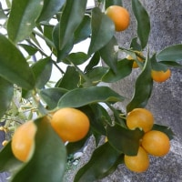 庭のキンカンの実が大豊作