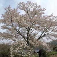 茨城県北2017年の春・・山里の桜