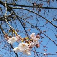 桜がだいぶ咲いてきました