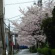 真締川沿いの桜2017
