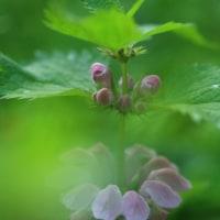 4月の花 オドリコソウ