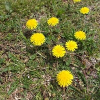 金目川の土手 水神さんとタンポポの花