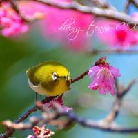 桜とメジロ!! 2017年 2月21日
