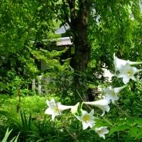 もうすぐ夏越祓 平野神社 アジサイ、ユリ、ムラサキシキブ