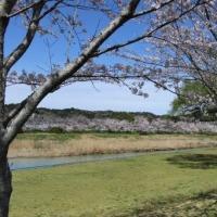 掛川市北部の桜めぐり ⑥ 原野谷川中流部の桜