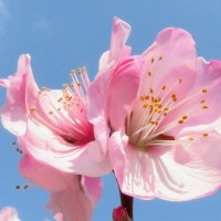 アーモンドの開花は春の花のスターター役か?。  17・3・28日