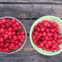 リンゴの結実とブドウの新芽