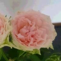 一目惚れのバラ