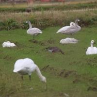 今日の白鳥たちとマガン