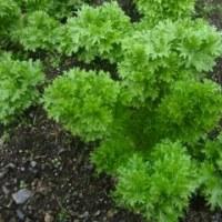 「ワサビ菜」