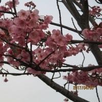 桜・・1番乗り