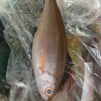 石垣島から魚が入りました