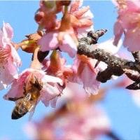 「咲き始めた辛夷」と「蕗の薹と瑠璃唐草」と「ブログ開設以来4380日」