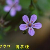2017/06/26 紀見峠 黒蘭観察