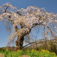過去の写真~桜(広島県 北広島町 長沢のしだれ桜)