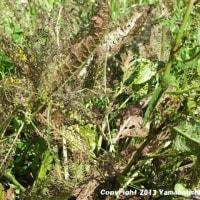 コガタルリハムシ(幼虫)(富山市営農サポートセンター/富山市月岡町)