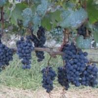 「地元で育てたブドウのワインを飲もう」