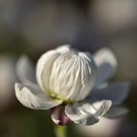 筥崎宮、花庭園から花かんざし(D5500、Ai AF Micro 60mm)