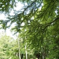 萩の里の大きなカツラ(桂)