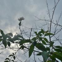 秋に桜が咲いて