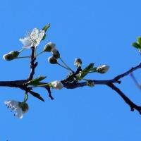 我が家の庭にもようやく春到来。プラムに花が咲きました!。
