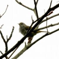 3/26探鳥記録写真-2(瀬板の森の小鳥たち:ウグイスの囀り)