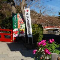 鎌倉鶴岡八幡宮・寒牡丹