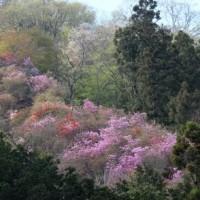 群馬県甘楽郡下仁田町を、ソメイヨシノの開花・満開の桜前線が通過中です