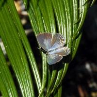 迷蝶クロマダラソテツシジミ