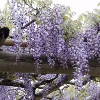 藤の花満開!