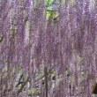 足利フラワーパークの藤