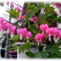 春の珍しい花(^^♪仏殿装飾の華鬘(けまん)に似ている「華鬘草(けまんそう)」