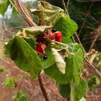 タンキリマメ:痰切豆(真冬に緑の葉)