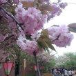 造幣局の桜 通り抜け 2013