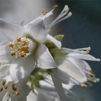 夏は来ぬ!で 卯の花が咲き始めました