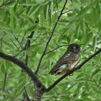 アオバズクとオオタカ幼鳥
