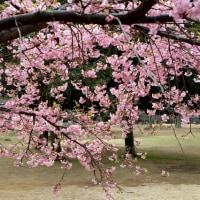 代々木公園の河津桜・・4