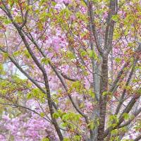 「葉桜になっても・・・」 いわき 高野花見山にて撮影!