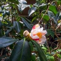 椿『百合絞り』開花